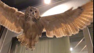 部屋の上空を飛ぶ様子をスロー撮影◇ 飛翔中のフクロウを見上げると、翼...