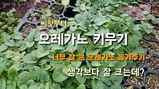 Vlog농사ㅣ씨앗부터 오레가노 허브키우기 특수채소 재배…