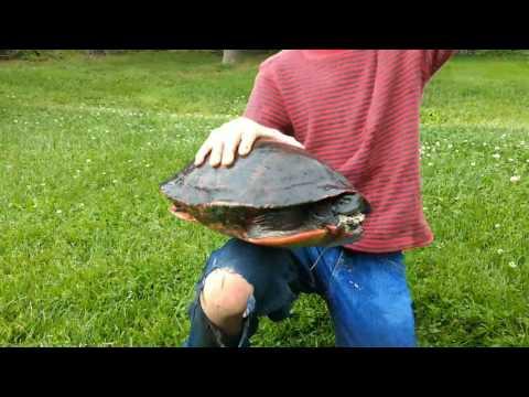 Huge Painted Turtle!!! (Part 1)