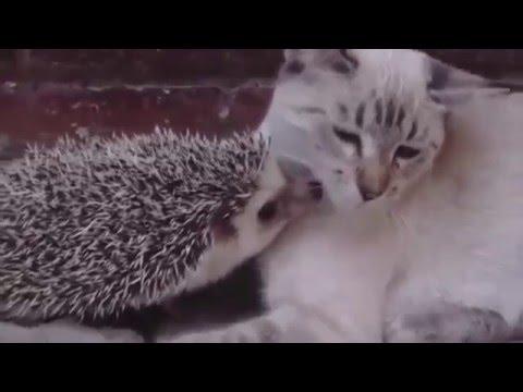 Cat and hedgehog best friends