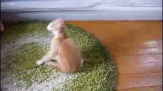 Изгнание блох. На кота надели ошейник. Смотреть до конца
