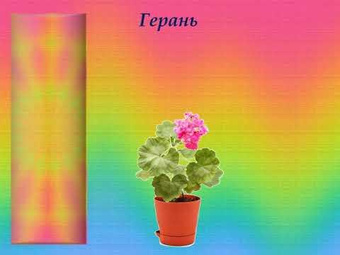 Вопрос: Как называется кактус с мягкими иголками?