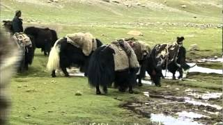 Yaks at the Buddhist pilgrimage of Kailash Mansarovar in Tibet