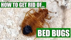 How To Get Rid Of Bed Bugs Guaranteed (4 Easy Steps)