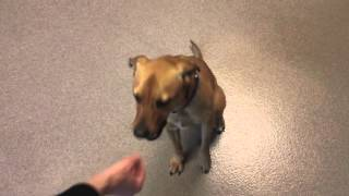 Daisy, A 3 Year Old Labrador Retriever/hound Mix Available For Adoption At Wisconsin Humane Society!