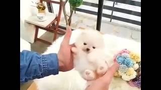 Chó quý sờ tộc P2