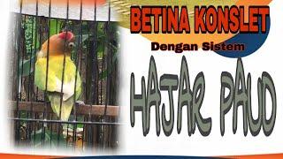 Download lagu CETAK LOVEBIRD BETINA KONSLET DENGAN SISTEM HAJAR PAUD #part1