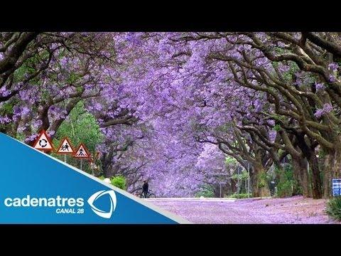 Glicinas, paraísos naturales en Japón : Wisteria, natural paradises in Japan