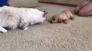 Ragdoll cat - Первая Встреча Снежинки и Дэйзи - Кошка рэгдолл и щенок лабрадора