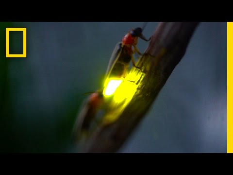 Watch: Fireflies Glowing in Sync to Attract Mates   National Geographic