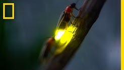 Watch: Fireflies Glowing in Sync to Attract Mates | National Geographic