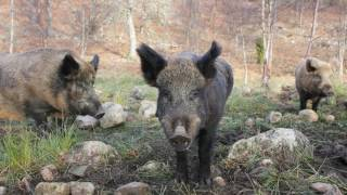 Three ISIS fighters 'are killed by rampaging wild BOARS' near Iraqi farmland