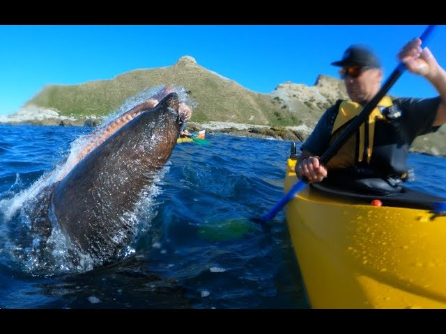 seal-slaps-man-with-an-octopus