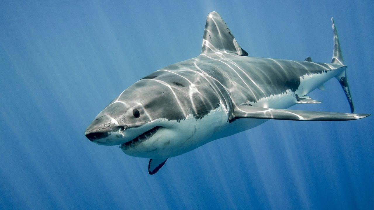 """Résultat de recherche d'images pour """"shark"""""""
