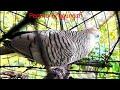 Suara Perkutut Ampuh Untuk Pikat Di Alam Bebas  Mp3 - Mp4 Download