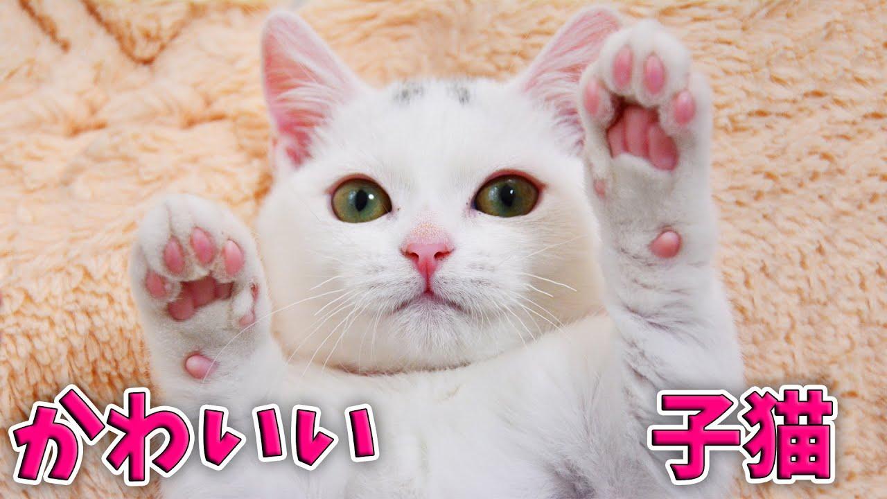 白いマンチカンの可愛かった子猫時代を懐かしんでみましょう!