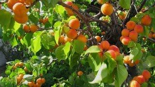 Посадка абрикос из косточки (3 часть)