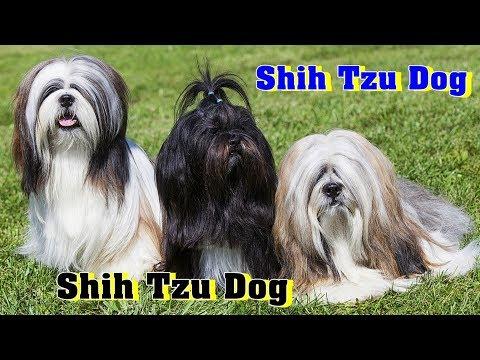 Shih Tzu Dog Breed | Lion Dog Breed |