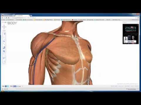 Amazing Human Anatomy Site - Zygote Body
