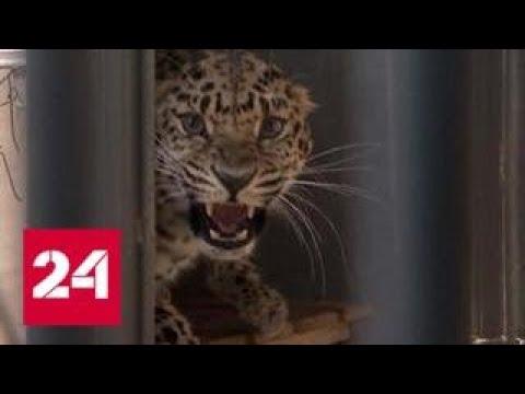 В Приморский сафари-парк привезли дикую кошку Рону - Россия 24