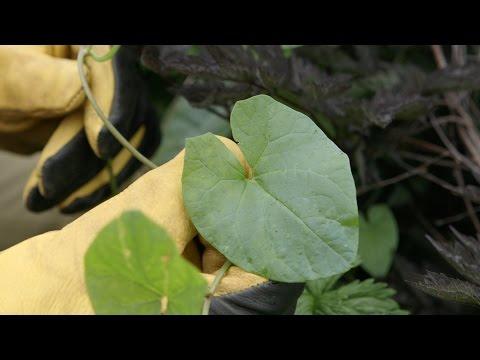 RHS Gardening Advice - Bindweed