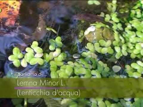 Lenticchie d 39 acqua fiori e piante della montagna for Lenticchie d acqua