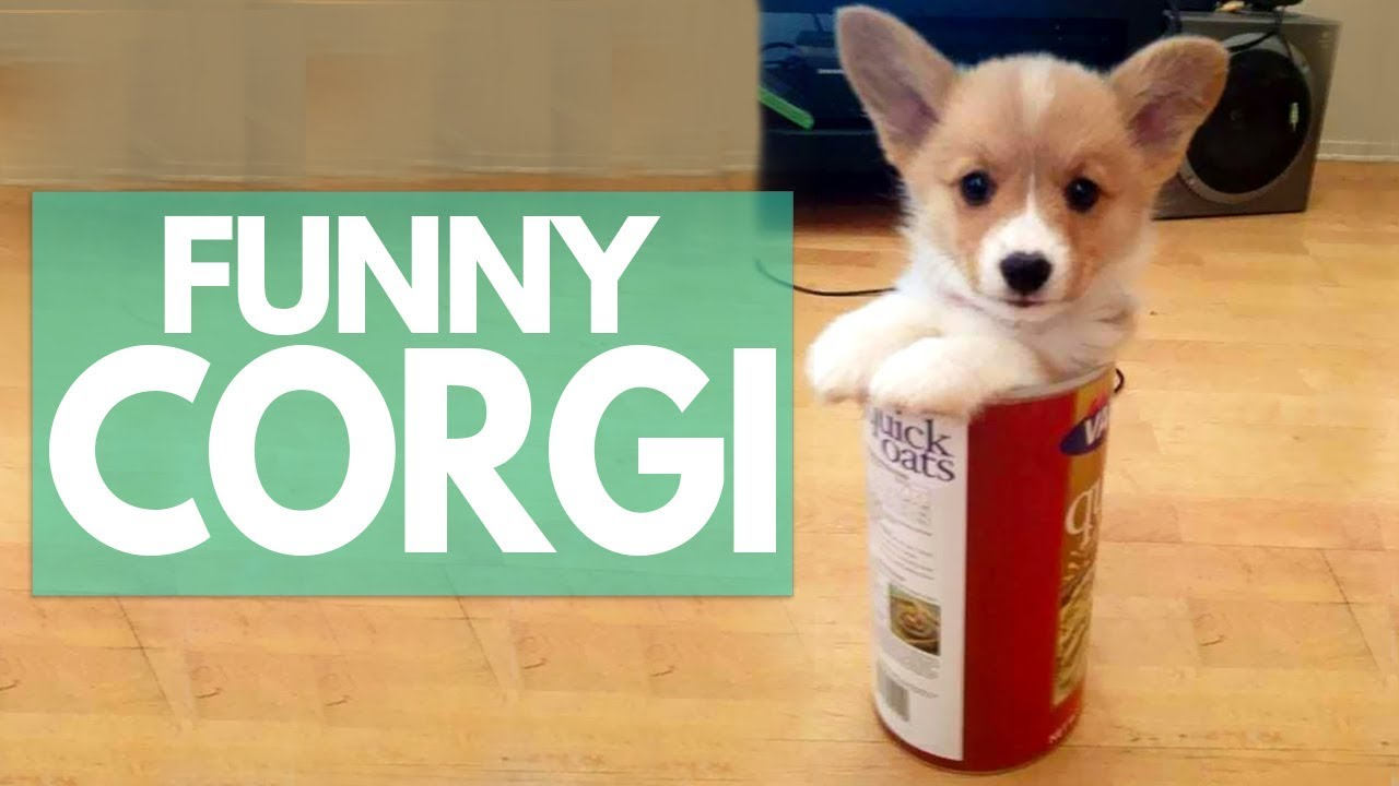 corgi cute puppies funny things doing