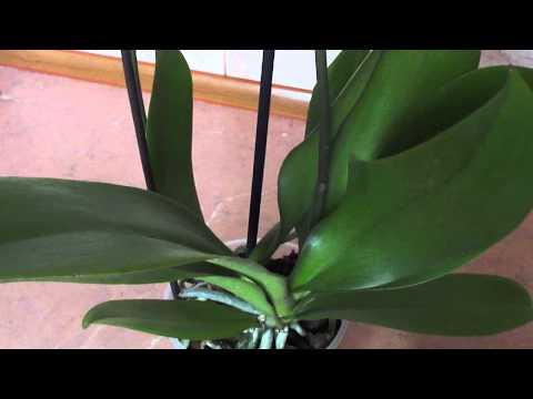 Стоит ли отделять прикорневые детки у орхидеи...