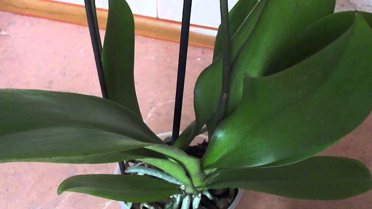 Орхидея пустила детку на стебле что делать