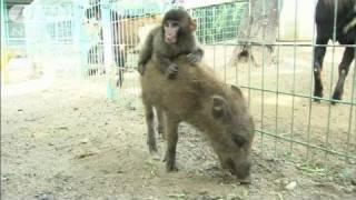 京都の動物園で、けがを負ったニホンザルのみわちゃん。仲良しのイノシ...