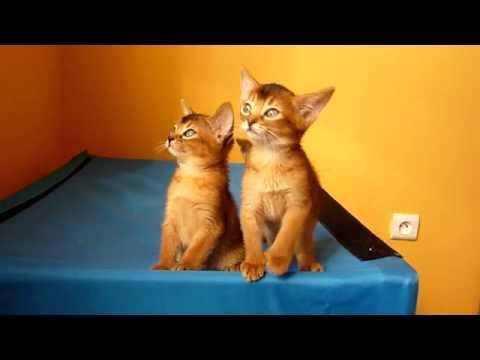 Абиссинская , видео породы кошек