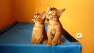Подборка приколов. Абиссинские котята.