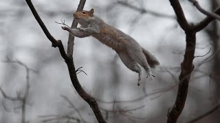 Squirrel Misses the Branch thumbnail