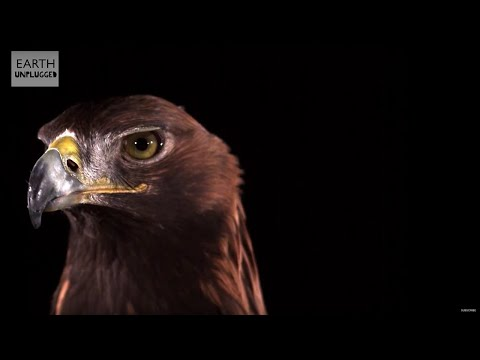 Golden Eagle Flying In Slow Motion!  Earth Unplugged
