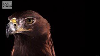 Slow Motion Golden Eagle Flight   Earth Unplugged