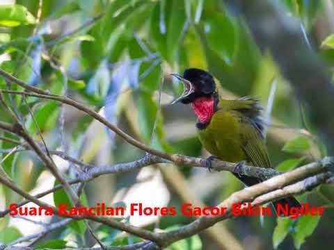 Apa Komentarmu Dengan Suara Burung Samyong Liar Ini?