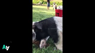 Pig and Puppy Cuddle Each Other