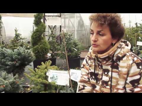 """Хвойные растения для сада.Виды и сорта ели. Сайт """"Садовый мир"""""""