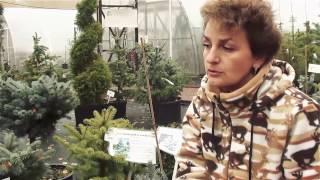 Хвойные растения для сада.Виды и сорта ели. Сайт