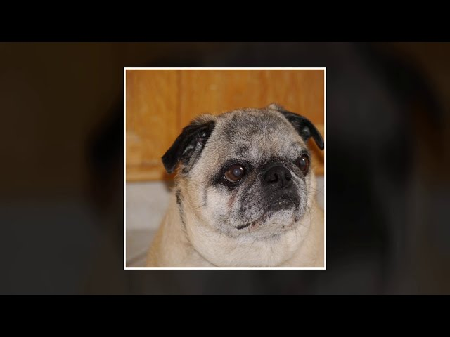 Remembering Mac the Pug