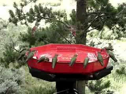 hummingbirds and squirrel, swarm, feeder, ruby, bird, rocky mountain, sugar, hummingbird, hummers