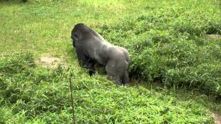 Gorilla Research Project