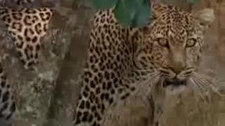 Leopard vs lion - BBC wildlife