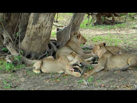 11 Lions in Selous Game Reserve Tanzania