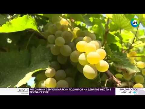 Солнца достаточно: армянские фермеры выращивают виноград без «химии»