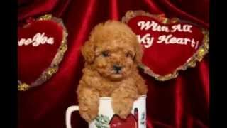 Toy Poodle,teacup Poodles And Yorkie Puppies For Sale