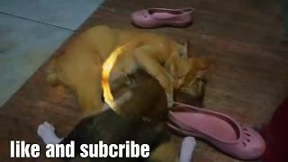 Download Video Kucing Emas Vs Kucing hitam MP3 3GP MP4