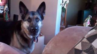Talking German Shepherd Wants To Lick The Icing