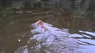 Jaguar cruzando el Rio Caura