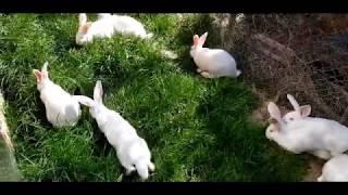 Hodowla królików #wybieg i informacje hodowlane